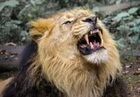 lion-976389_1920